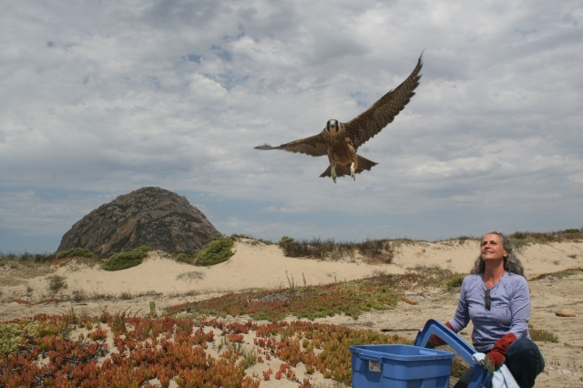 Peregrine Saved and  Released in Morro Bay...